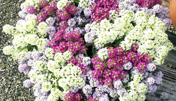 Фото - Алиссум буває різних кольорів