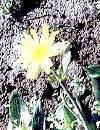 Арніка гірська та її корисні властивості: отруйні рослини на службі людини