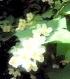Жасмин в ароматерапії: королівський аромат для настрою, здоров'я, краси