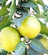 Бергамот: ароматний гібрид