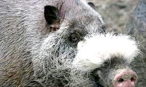 Бородата свиня - азіатське диво природи