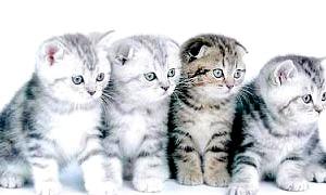 Британська і шотландська кішка: знайди десять відмінностей