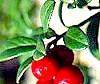 Брусниця - джерело вітамінів і сечогінний засіб