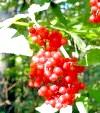 Бузина червона: корисне, але недооцінене рослина