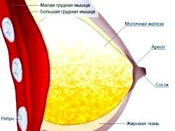 Фото - Схема молочної залози