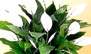 Домашній квітка спатифиллум: вирощування і догляд