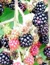 Ожина: смачна і цілюща ягода