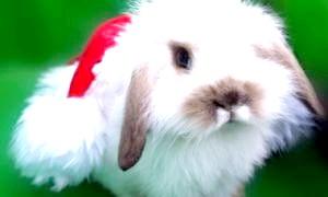 Рік 2011-якої тварини? запитайте у білого кролика!