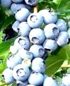 Лохина: корисні властивості ягоди-северянки