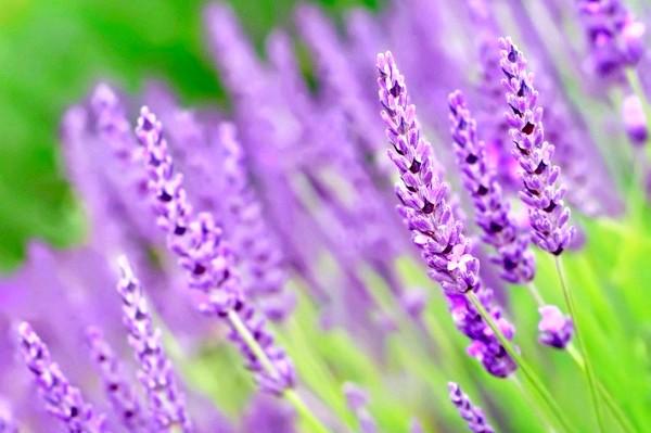 Фото - Лаванда швидко почне радувати вас цвітінням