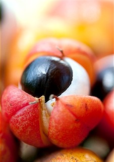 Гуарана: користь, властивості, застосування. гуарана для схуднення