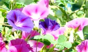 Витончена красуня іпомея: посадка і догляд на балконі і в саду