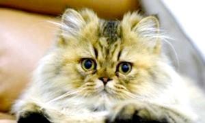 Вивчаємо котячий мову: чому кішки топчуть нас лапками