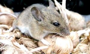 Як боротися з мишами в будинку?