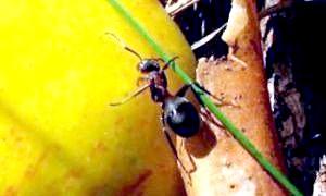 Як позбутися від мурашок на ділянці? нагодуйте їх пшоном!