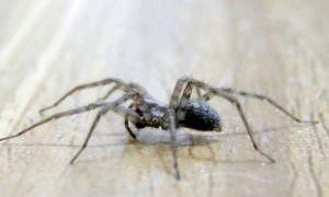 Як позбутися павуків у квартирі, а також в офісі або на дачі
