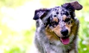 Як навчити собаку команді «голос»? запитаємо у досвідчених собаківників