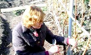 Як обрізати виноград на зиму в середній смузі, на Уралі і в Сибіру
