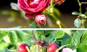 Як відрізнити шипшина від троянди?