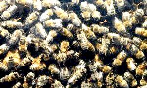Як підготувати бджіл до зимівлі?