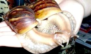 Як розмножуються равлики?