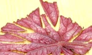 Як розмножити бегонію листовими живцями?