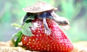 Як зробити черепаху?