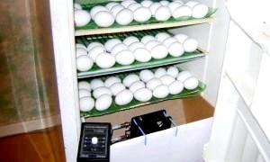 Як зробити інкубатор своїми руками з підручних засобів