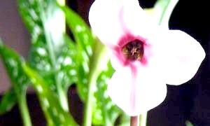 Як доглядати за цикламеном, щоб він радував розкішним цвітінням?