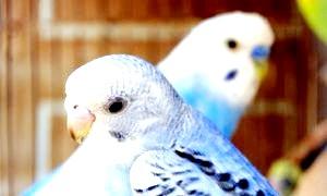 Як доглядати за хвилястим папугою - з любов'ю і турботою