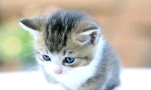 Як влаштованої котяче зір?