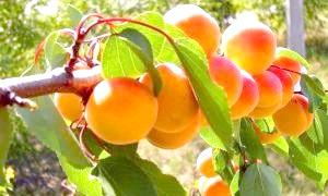 Як виростити абрикос з кісточки і поласувати його плодами