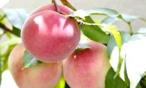 Як виростити персик з кісточки: докладний посібник для садівників