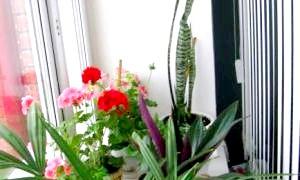 Які квіти повинні бути в будинку для гармонії і щастя?
