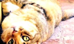 Коли каструвати кота: поради ветеринарів
