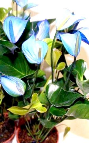 Фото - Шикарний блакитний антуріум
