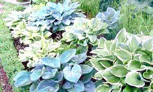 Королева тіньового квітника - хоста. посадка і догляд за цією рослиною