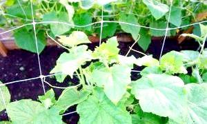 Красива і надійна шпалера для огірків - легкий відхід і збір урожаю