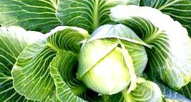 Фото - Лікувальні властивості капустяного листа