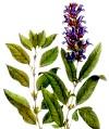 Лікування безпліддя шавлією - чудодійні сили рослини