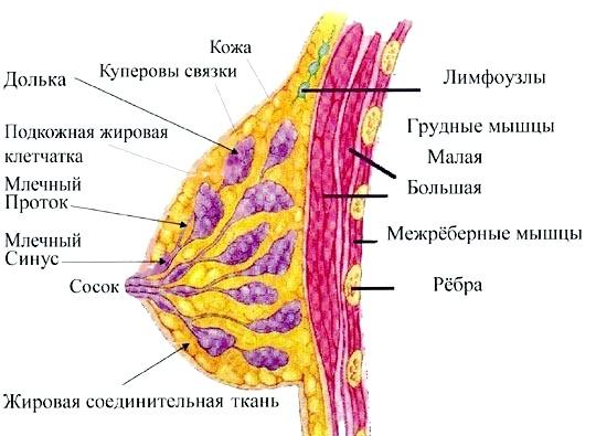 Фото - Схема грудей