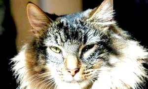 Лісовий норвезький кіт: все, що потрібно знати, щоб зробити вихованця щасливим