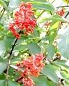 Фото - лісові рослини з неїстівними плодами