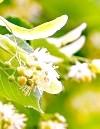 Липа: корисні властивості та протипоказання «бабусиної» чаю