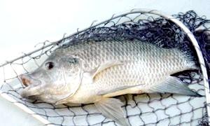 Ловимо рибу мрії, або як зробити підгодовування для ляща своїми руками