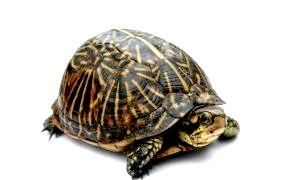 Максимальна швидкість черепахи.