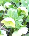 Морозник для схуднення - обережно, рослина отруйна!