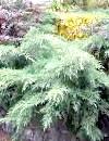 Ялівець і його корисні властивості - споконвічно російське рослина