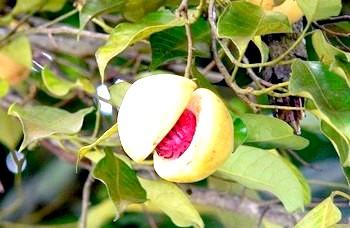 Фото - Мускатний горіх: його унікальність. Фото з сайту asiaspices.ru