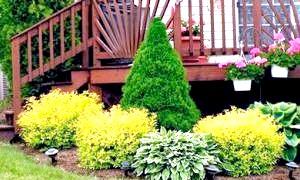 Наш зелений сад: посадка і догляд за туями